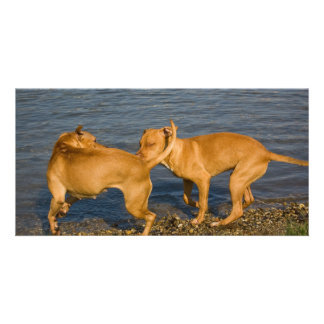 pitbulls in love photo card template