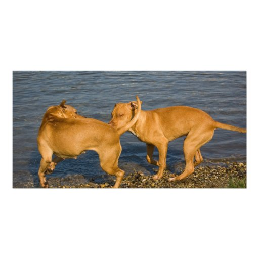 pitbulls in love personalized photo card