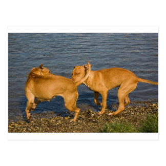 pitbulls in love postcard
