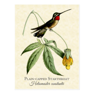 Plain Capped Starthroat Hummingbird Vintage Art Postcard