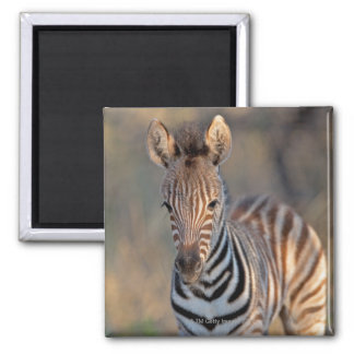 Plains zebra (Equus quagga) foal, Mkhuze Game Square Magnet