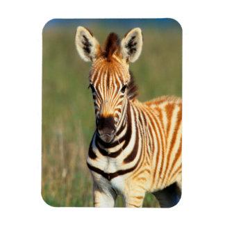 Plains Zebra (Equus Quagga) Foal Portrait Rectangular Photo Magnet