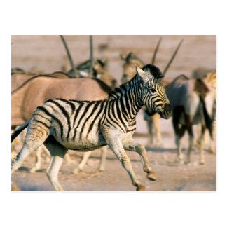 Plains Zebra (Equus Quagga) Foal Startled Postcard