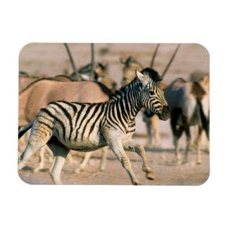 Plains Zebra (Equus Quagga) Foal Startled Rectangular Photo Magnet