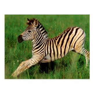 Plains Zebra (Equus Quagga) Foal Stretching Postcard