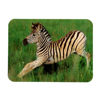 Plains Zebra (Equus Quagga) Foal Stretching Rectangular Photo Magnet