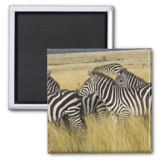 Plains Zebra (Equus quagga) in grass, Masai Mara 2 Square Magnet