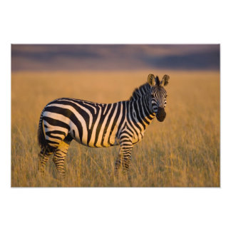 Plains Zebra Equus quagga) in grass, Masai Photo Print