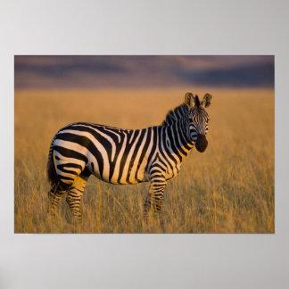 Plains Zebra Equus quagga) in grass, Masai Poster