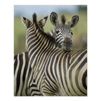 Plains Zebra (Equus quagga) pair, Haga Game Poster