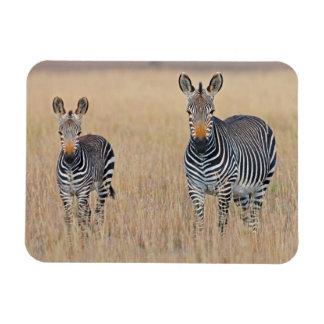 Plains zebra (Equus quagga) with foal Magnet