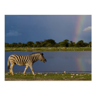Plains Zebra Walking in Front of a Rainbow Postcard