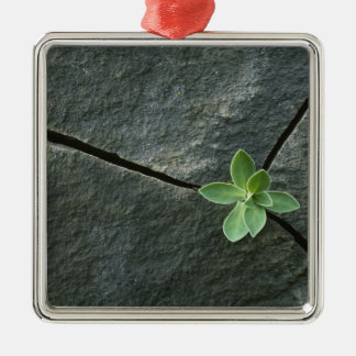 Plant Growing in Cracked Boulder Silver-Colored Square Ornament