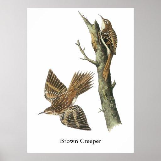Plante grimpante de Brown, John Audubon Poster