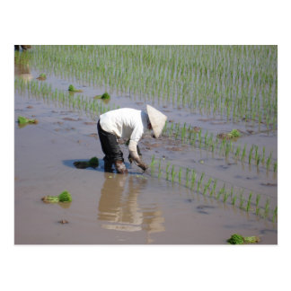 Planting Rice in the fields of Vietnam Postcard