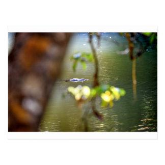 PLARYPUS IN WATER EUNGELLA AUSTRALIA POSTCARD