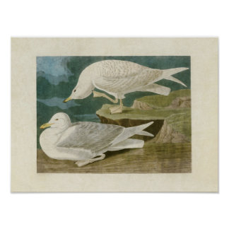 Plate 282 | White-Winged Silvery Gull Poster
