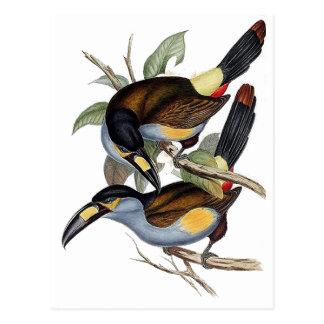 Plate-billed Mountain Toucan Postcard