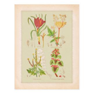 Plate I Botanical Art Illustration Postcard