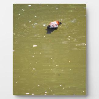 PLATYPUS DIVING IN WATER EUNGELLA AUSTRALIA PLAQUE
