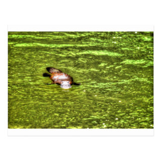 PLATYPUS EUNGELLA AUSTRALIA ART EFFECTS POSTCARD