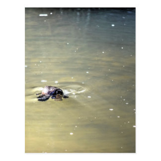 PLATYPUS IN WATER EUNGELLA AUTRALIA POSTCARD
