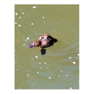 PLATYPUS IN WATER EUNGELLA NATIONAL PARK AUSTRALIA POSTCARD