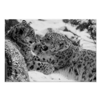 Play-Fighting Snow Leopard Brothers Poster