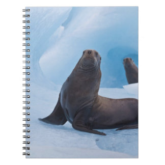 Playful stellar sea lions wrestle on iceberg notebook