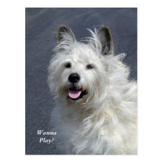 Playful West Highland Terrier Post Card