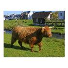 Plockton, Scotland. Hairy Coooo's (cows) doing Postcard