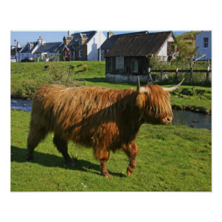 Plockton, Scotland. Hairy Coooo's (cows) doing Poster
