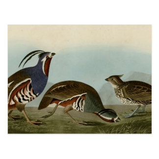 Plumed & Thick-legged Partridge Postcard