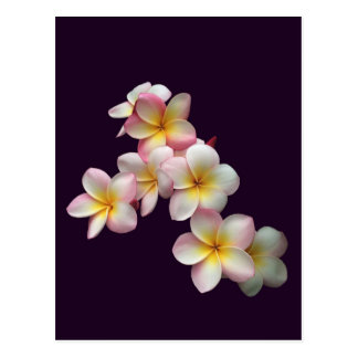 Plumeria blossoms on dark purple postcard