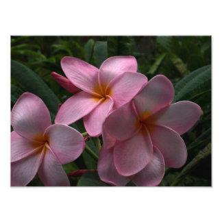 Plumeria blossoms photo print