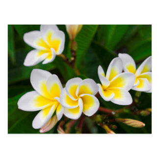 Plumeria flowers close-up, Hawaii Postcard