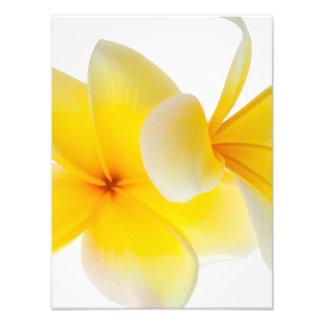 Plumeria Flowers Hawaiian White Yellow Frangipani Photo Print