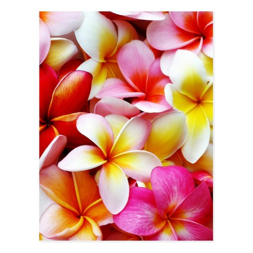 Plumeria Frangipani Hawaii Flower Customized Postcards