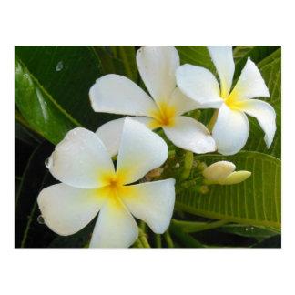 Plumeria Frangipani Hawaii Postcard