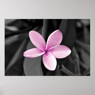Plumeria in Bloom Poster