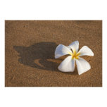Plumeria on sandy beach, Maui, Hawaii, USA Art Photo