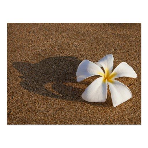 Plumeria on sandy beach, Maui, Hawaii, USA Post Cards