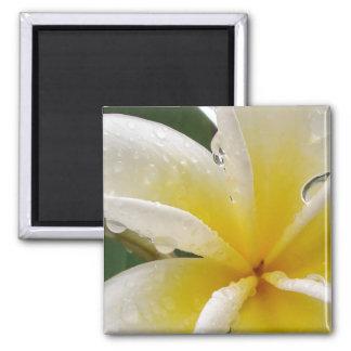 Plumeria yellow magnet