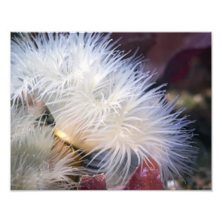 Plumose Anemone - fine art photo