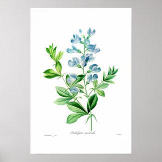 Podalyria australis poster