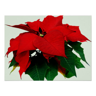 Poinsettia and Leaves Poster