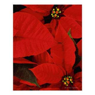 Poinsettia Close-Up Poster