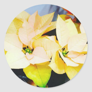 Poinsettia of unusual gold color classic round sticker