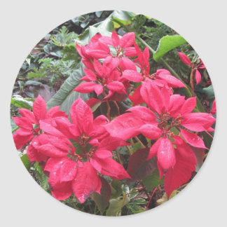 Pointsettias Classic Round Sticker