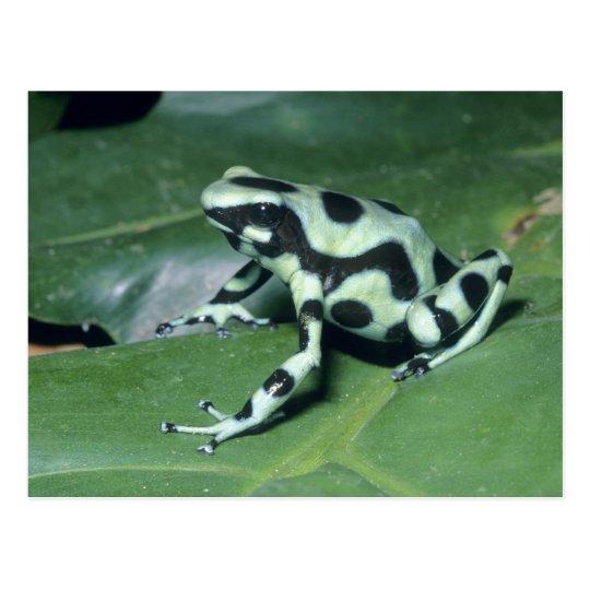 Poison Dart Frog, (Dendrobates auratus) Cahuita Postcard